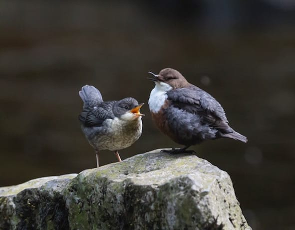 Dipper With Chick