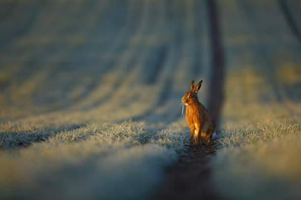 A Brown Hare Lepus capensis