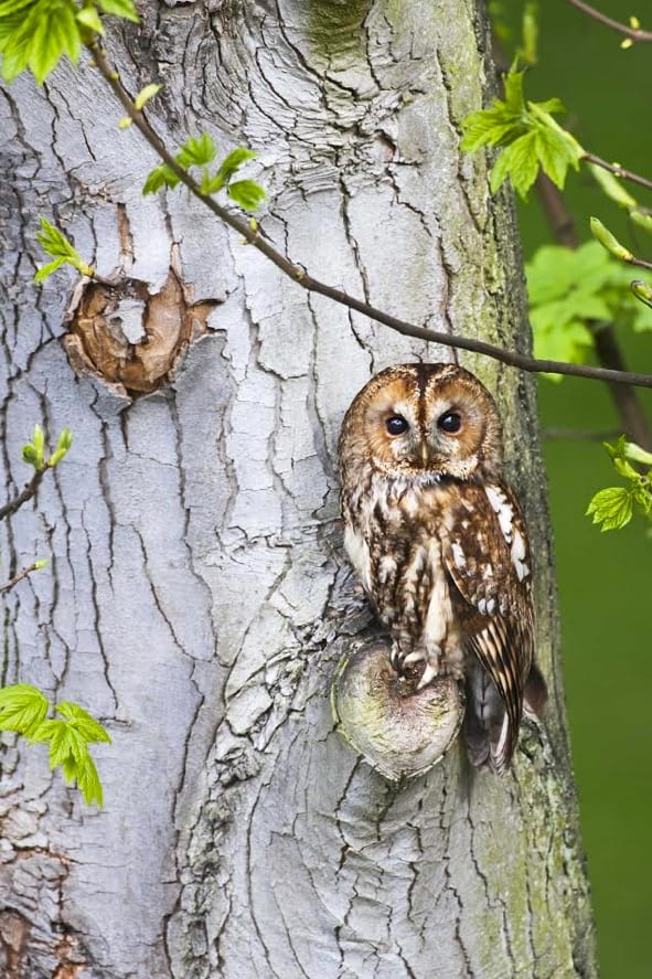 tawny owl perched on tree