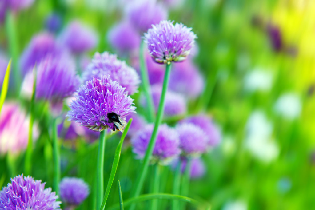 Chive plants in full bloom.