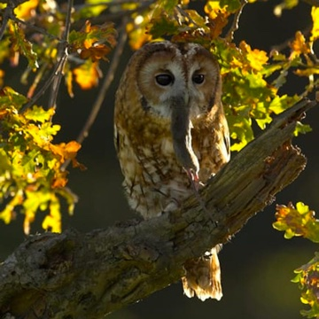 Tawny owl adult in oak tree.