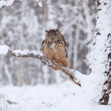 Eagle owl in winter