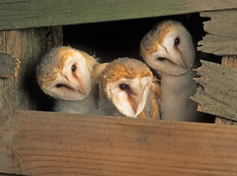 Young barn owls in a barn