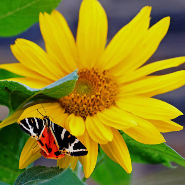 Jersey Tiger Moth on sunflower