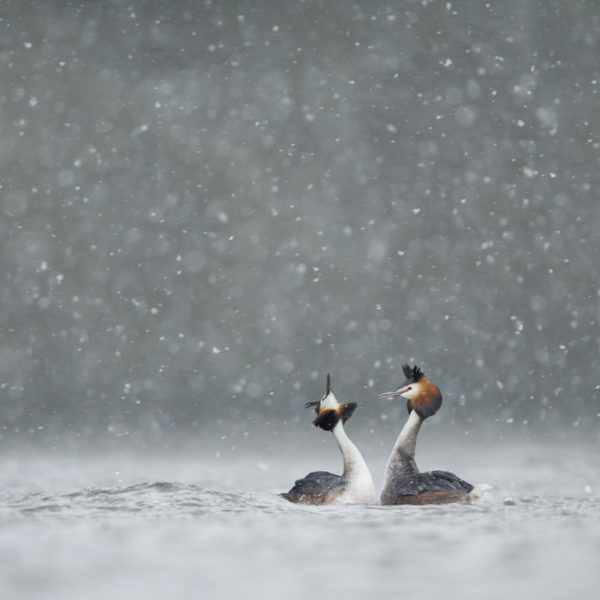 Great crested grebes Podiceps cristatus, pair displaing on lake in heavy snowfall, Cheshire, UK, March
