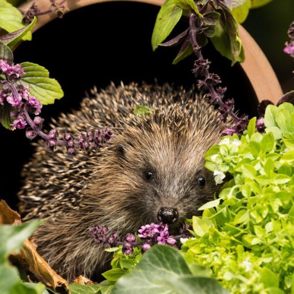 Hedgehog-Squires copy